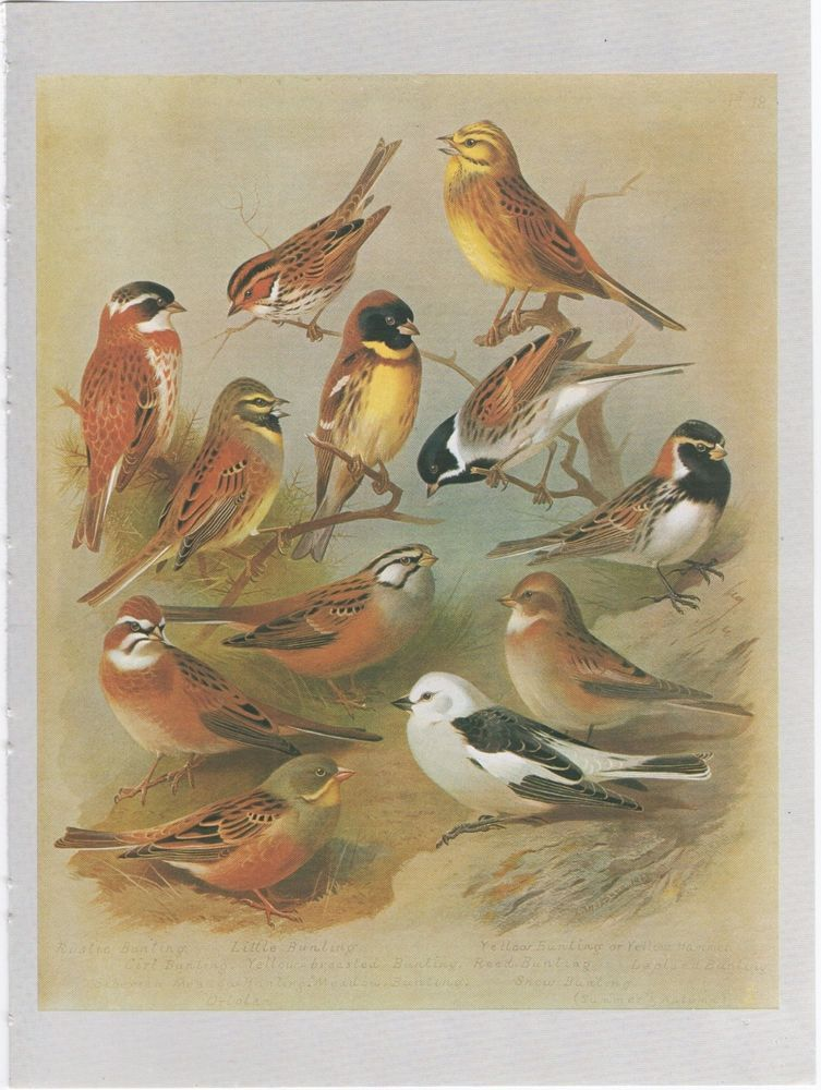 BIRD PRINT BUNTING, PAGE FROM THORBURN'S BIRDS (With