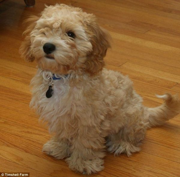 Meet The Cava Poo Chon A Cavalier King Charles Spaniel And Bichon Frise Mix Bred With A Miniature Poodle A New Breed Cute Cats And Dogs Cute Dogs Dog Breeds