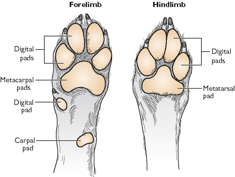 Anatomy Of A Dogs Paw Google Search Dogs R Awesome Pinterest