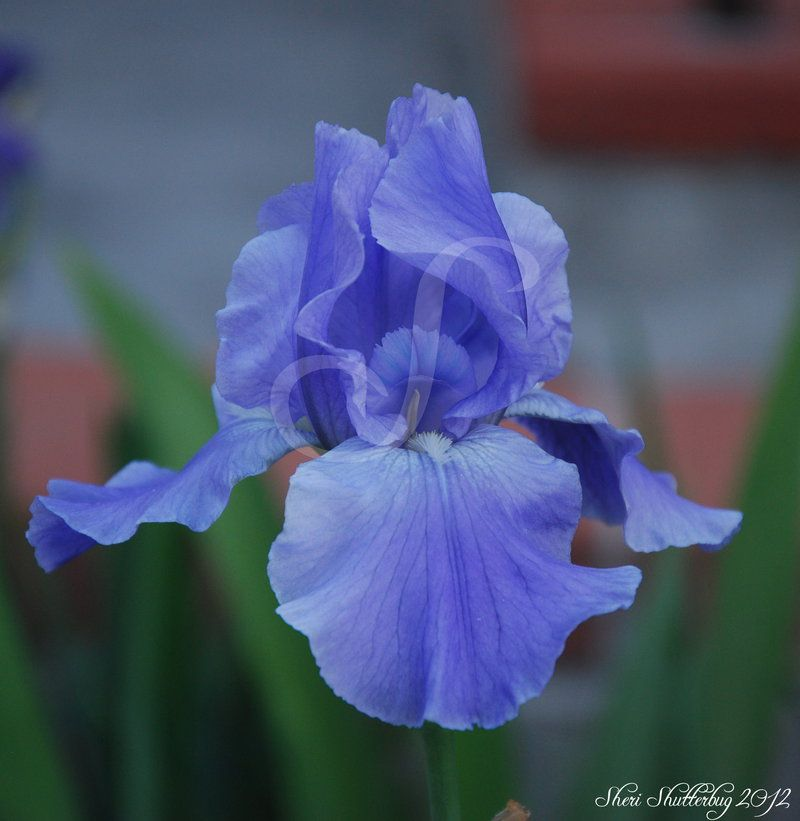 Delicate Iris Updated by Scooby777
