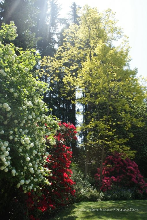 #snowball tree, #honey locust tree, #red rhodo, #pink rhodo