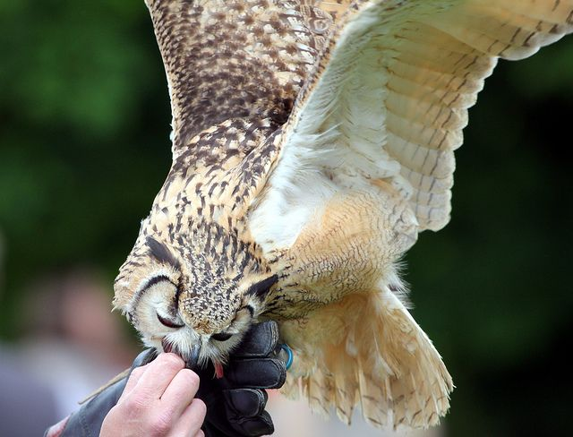 Eagle Owl Display, Doddington Place | Flickr - Photo Sharing!