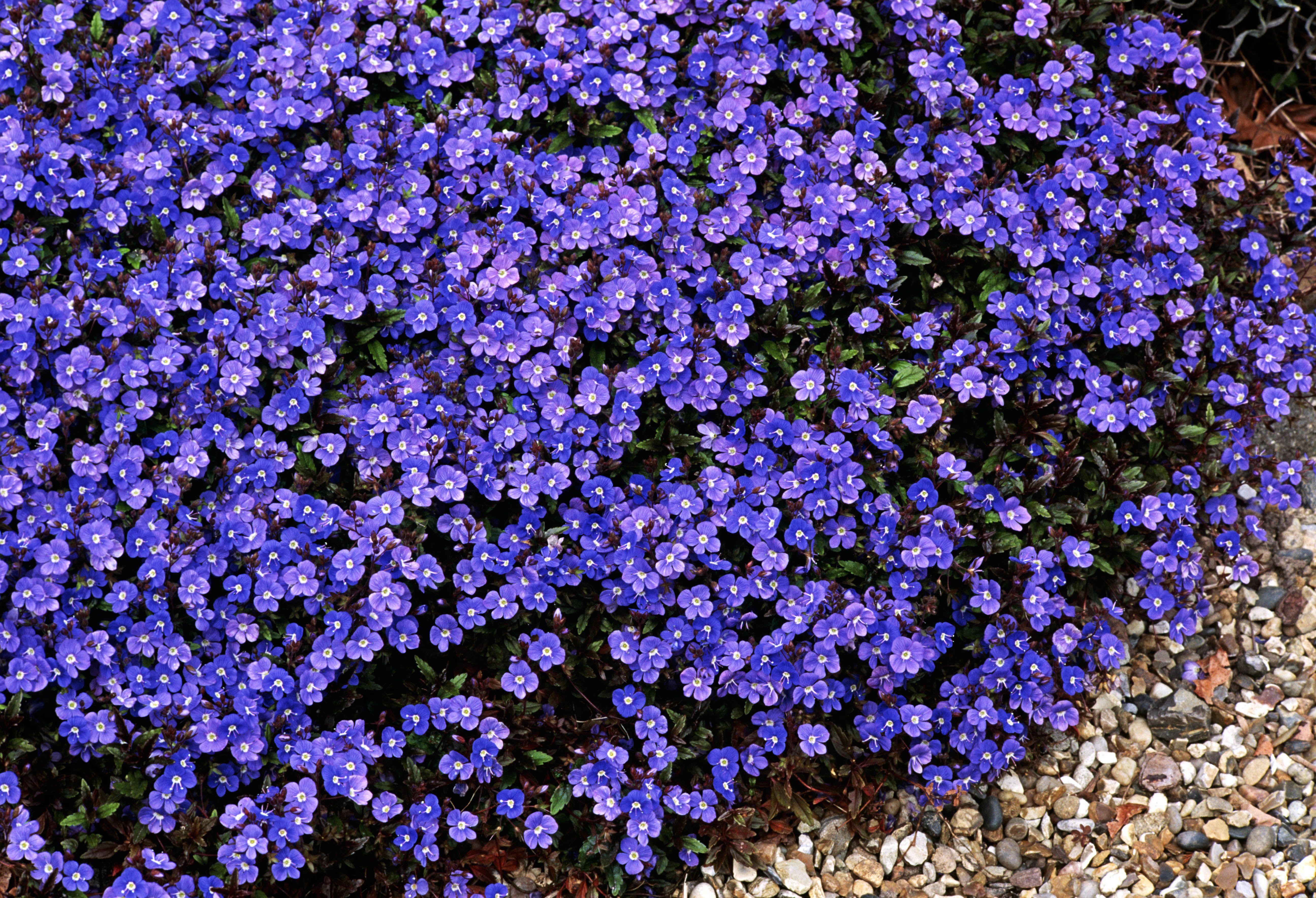 Georgia blue speedwell monrovia georgia blue speedwell will flowers izmirmasajfo Images