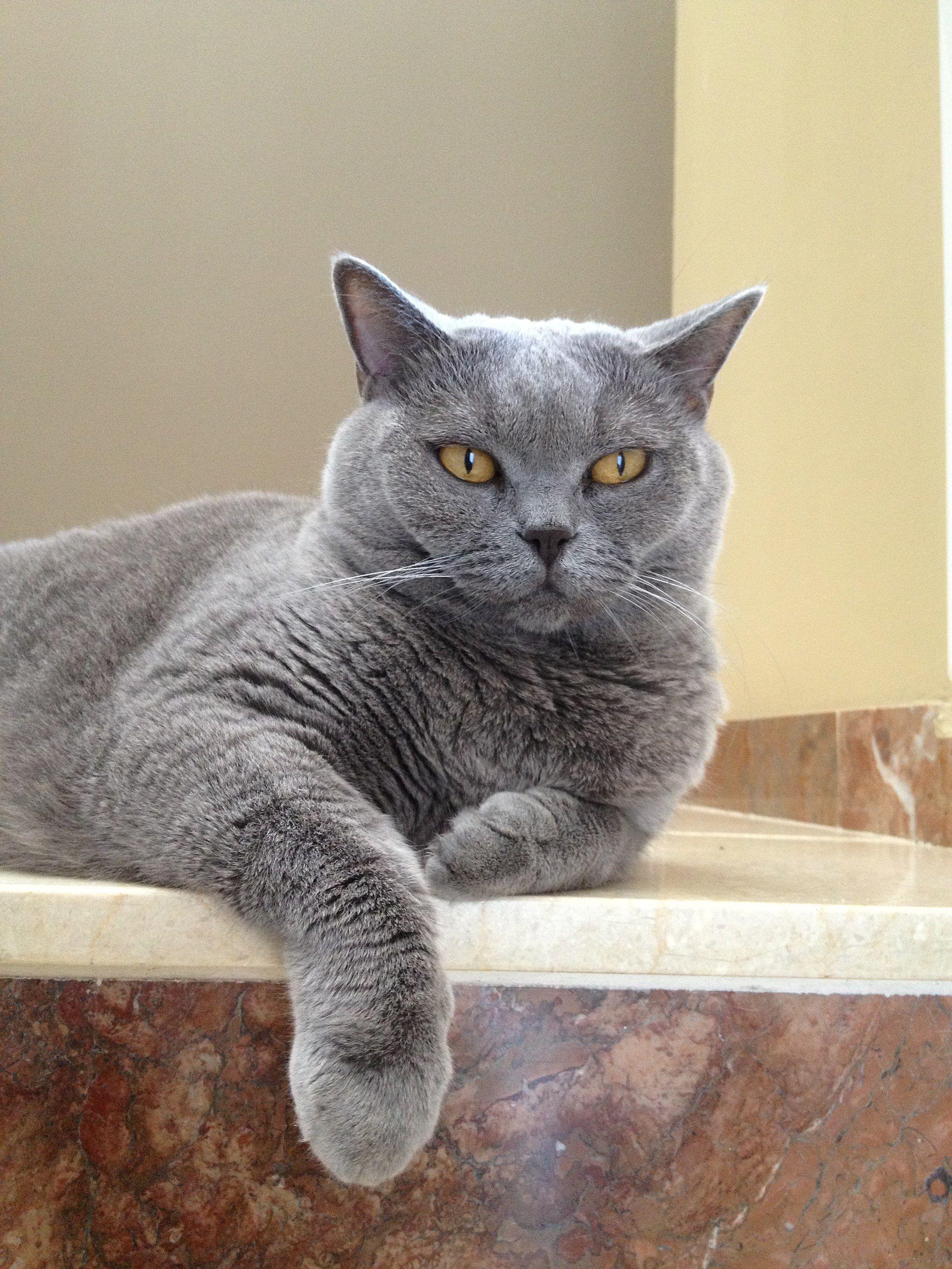 Britisch Kurzhaar Langhaar Britisch Kurzhaar Katzenrassen Katzen