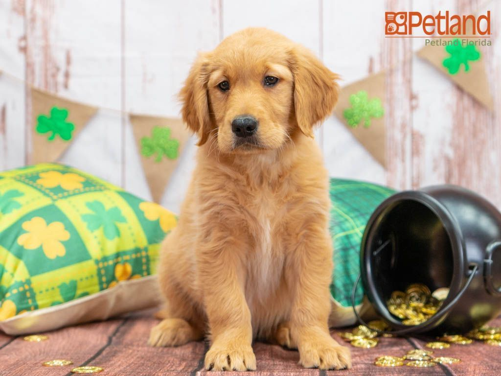 Petland Florida Has Golden Retriever Puppies For Sale Check Out All Our Available Puppies Goldenre In 2020 Retriever Puppy Golden Retriever Puppy Golden Retriever