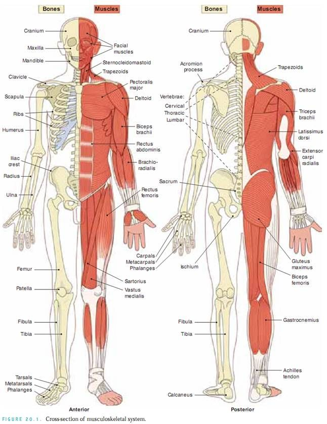 the muscular/skeletal system is the combination of the muscular,