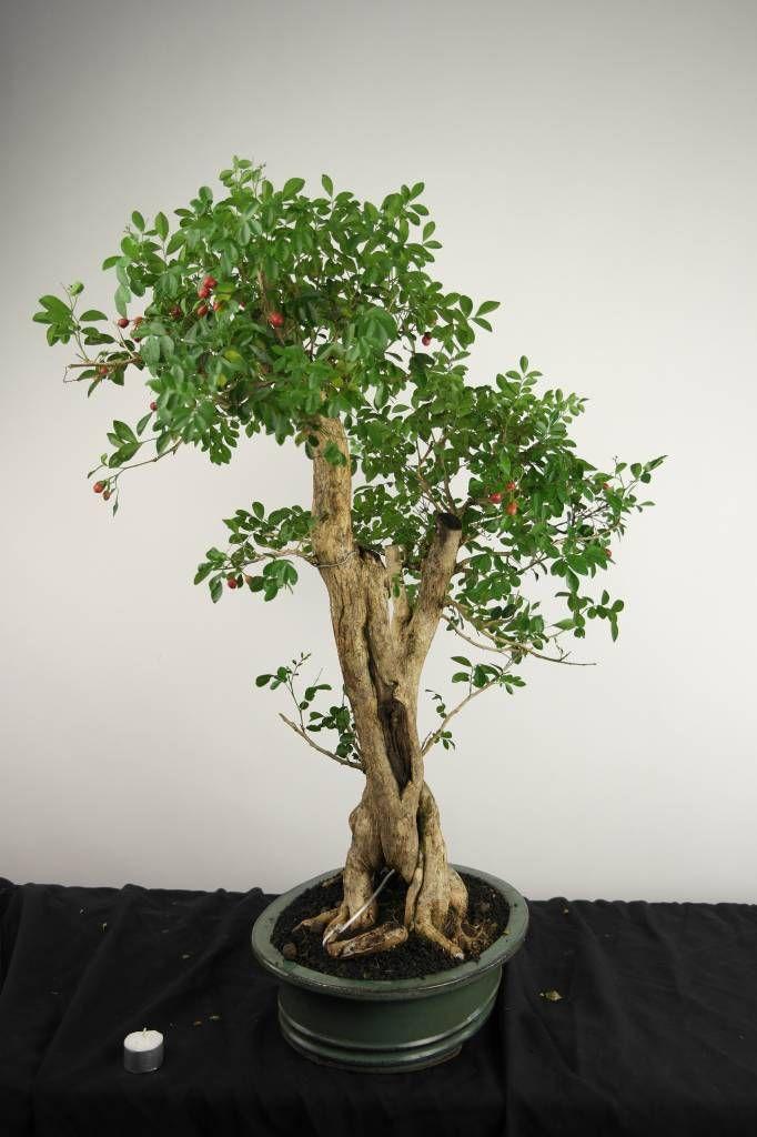 Bonsai Orange Jasmine Murraya Paniculata No 3496 Bonsai Murraya Paniculata Bonsai Tree
