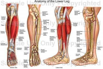 Human Anatomy Lower Leg Science Pinterest Human Anatomy