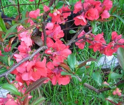 Early spring flowering shrubs image collections flower decoration this flowering quince is an old favorite for pretty spring flowers this flowering quince is an mightylinksfo Image collections