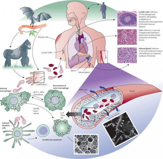 Virus ebola imagem 570x556 vrus ebola futebol ao vivo pinterest virus ebola imagem 570x556 vrus ebola reheart Images