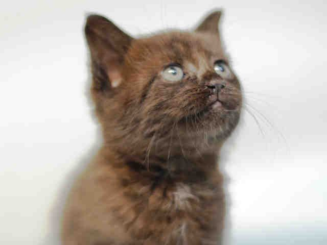 Must Be Pulled By A New Hope Rescue Vien A1124719 Female Black White 6 Weeks Reason Stray Super Urgent Shelter Cats Th Cat Shelter Cats Animals