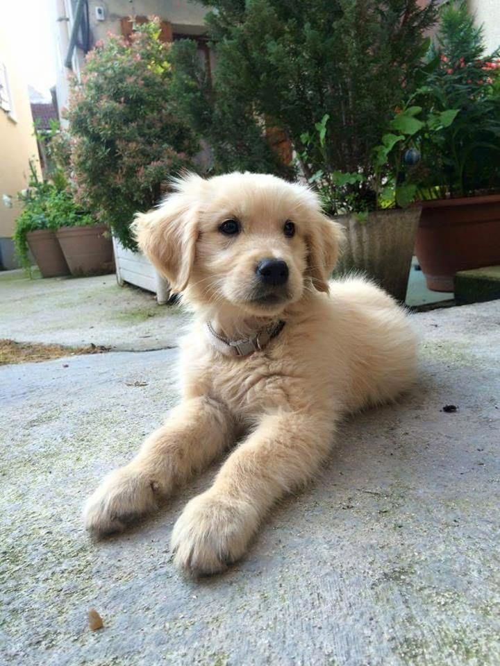 Pin By Carly Zaremba On P U P P E R S Golden Retriever Cute