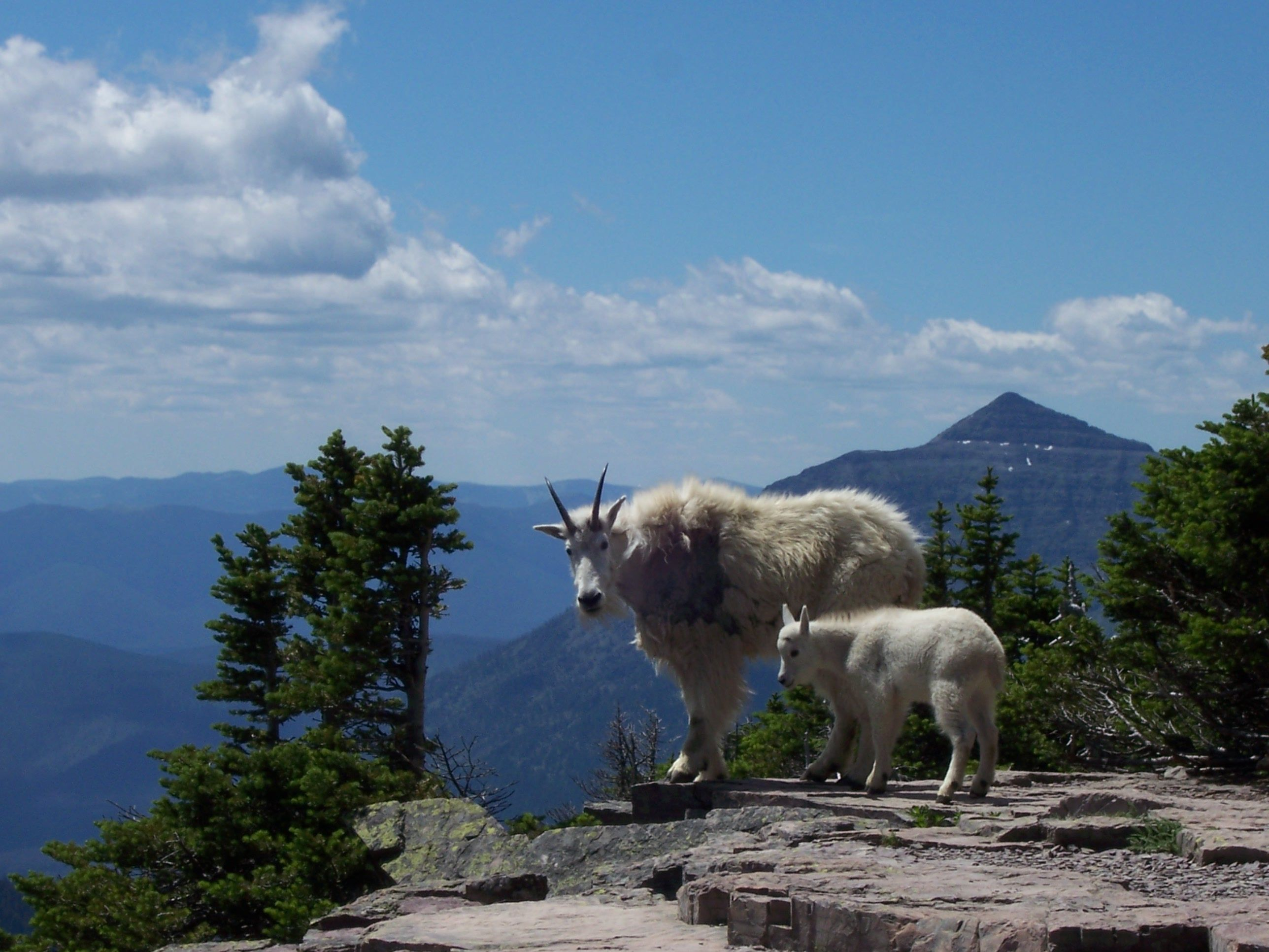 Mountain goats and scenery along Hidden Lake Trail, Glacier National Park, MT