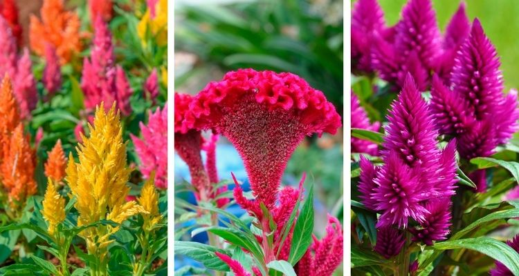 Types Of Celosia Flowers Plumed Celosia Crested Cockscomb Spiked Celosia Flowers Celosia Flower Types Of Flowers