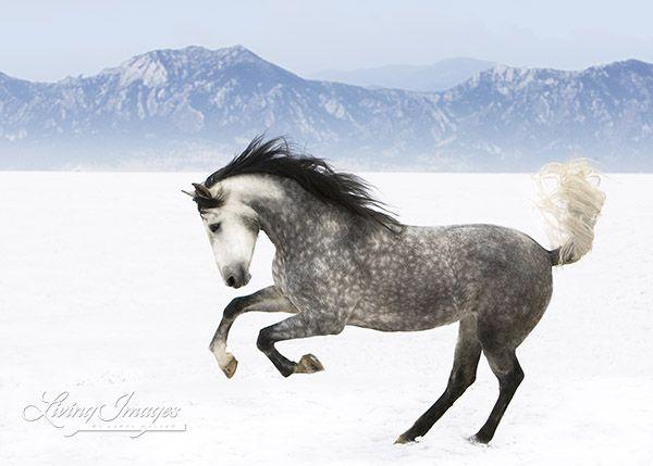 dapple gray horse running in the snow horses smoke