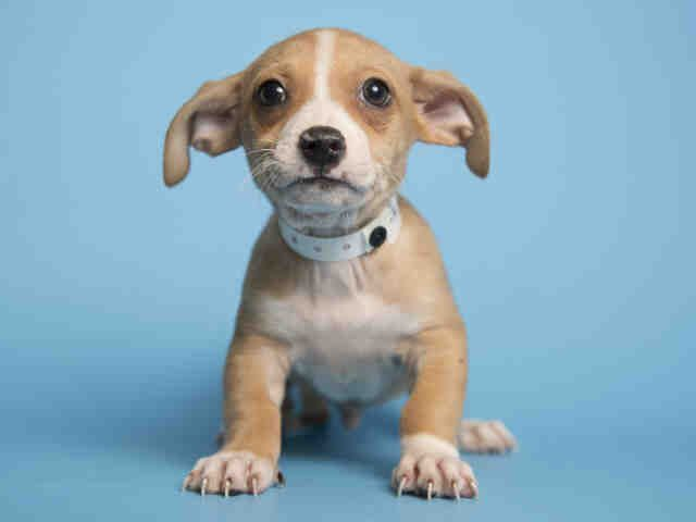 Meet Chewie Arizona Humane Society With Images Humane Society Puppy Breath Pets
