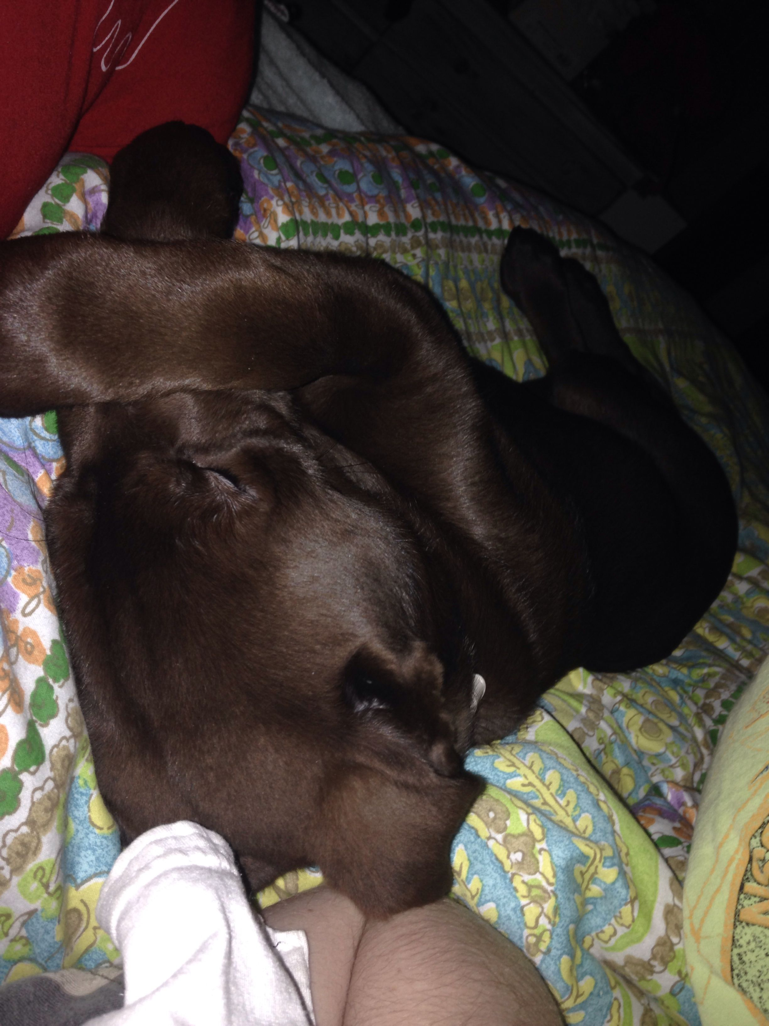 It doesn't get much cuter than this! Daisy the Chocolate Lab.