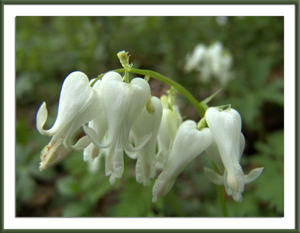 """Squirrel Corn"" (not to be confused with Dutchman's Breeches)"