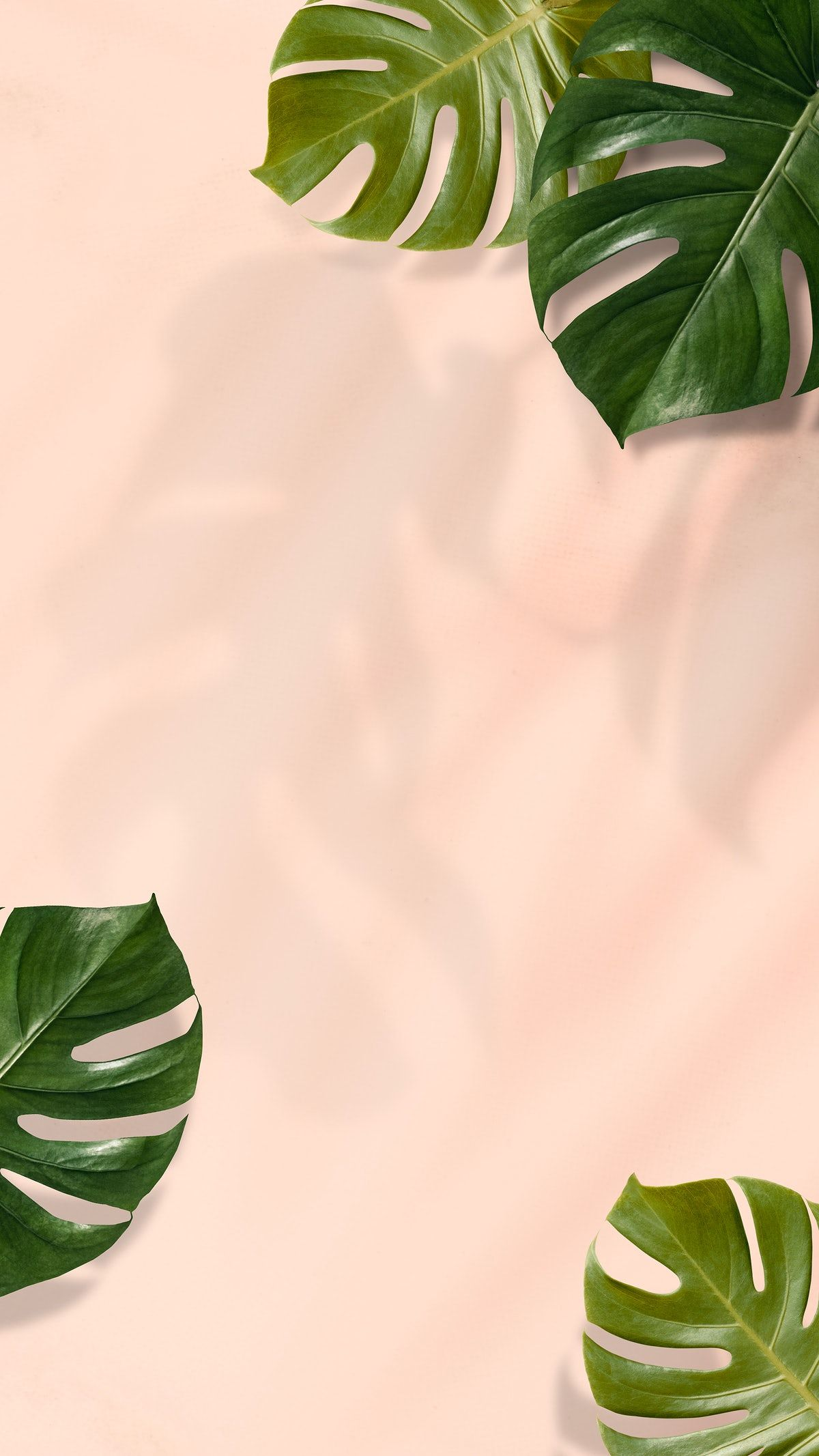 Download premium psd / image of Monstera leaves on pink background by Sasi about pink monstera, android wallpaper, backgrounds, blank space, and botanical 2441436