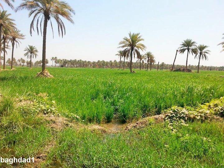 حقول الرز العنبر في المشخاب ١ Iraq Babylon Cradle Of Civilization