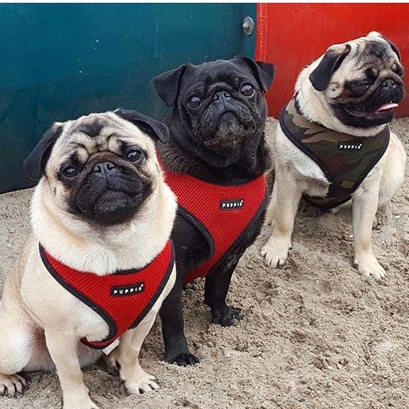 Puppia Soft Harnesses Available At Www Ilovepugs Co Uk Sizes S Xxl