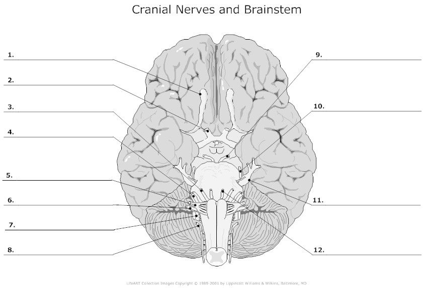 Brain Anatomy Coloring Sheets - Printable Coloring Pages Design