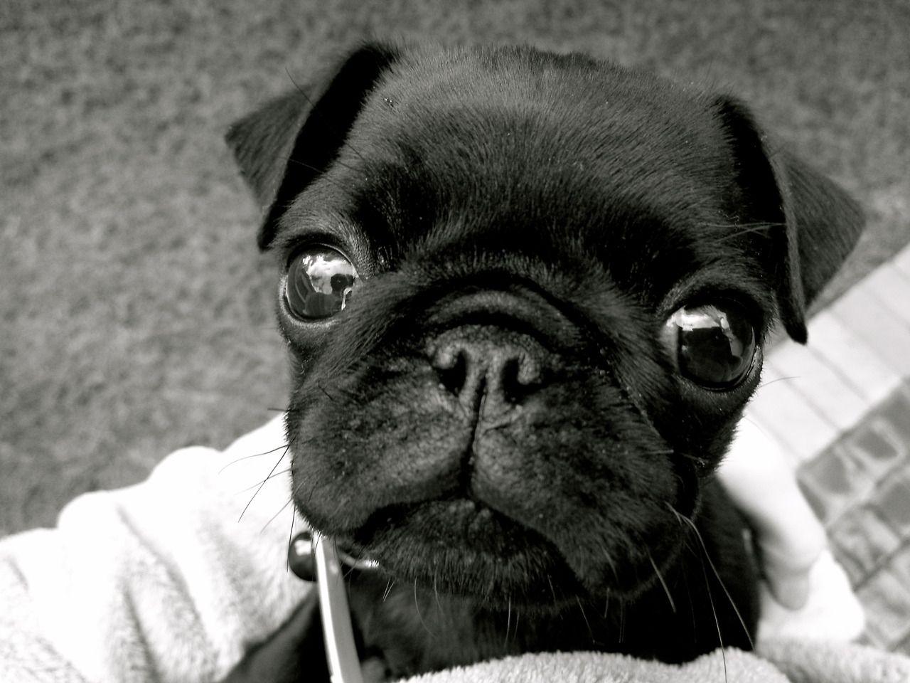Black Pug Tumblr Pug Cute Puppy Baby Pugs Cute Pugs Pugs