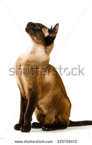 Oriental brown cat on a white background