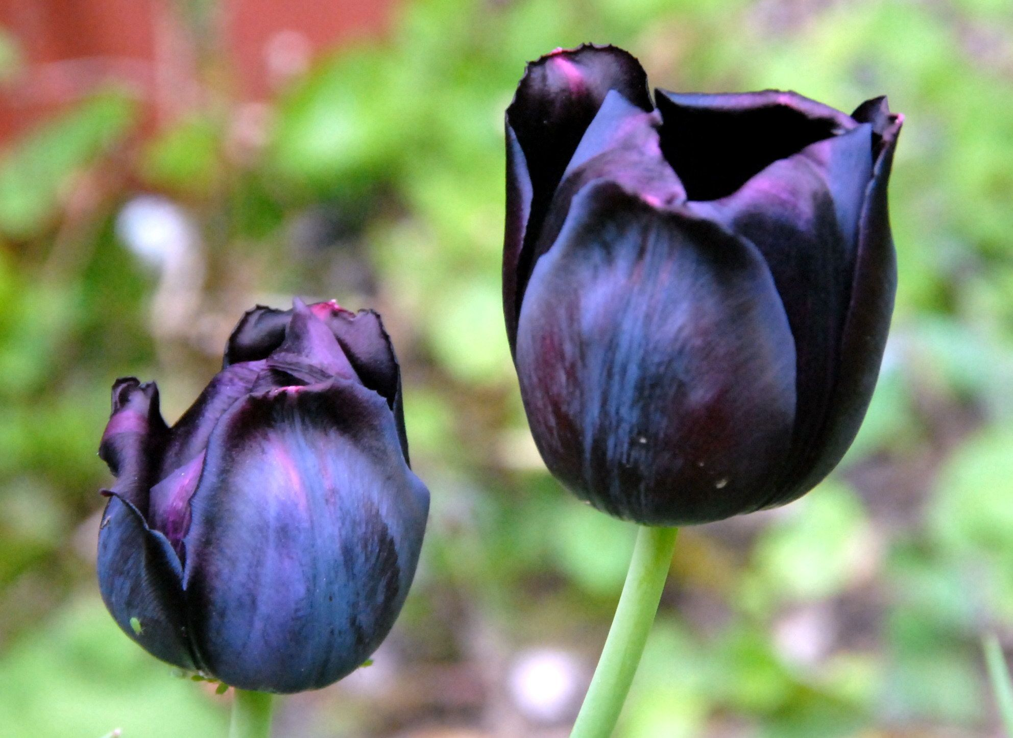 the black tulip The black tulip is a historical novel written by alexandre dumas, p re plot the story begins with a historical event the 1672 lynching of the dutch grand.