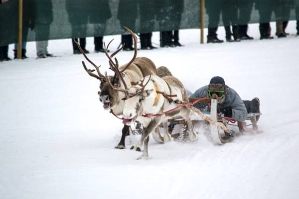 Reindeer race at Jokkmokk Winter Market, Swedish Lapland.
