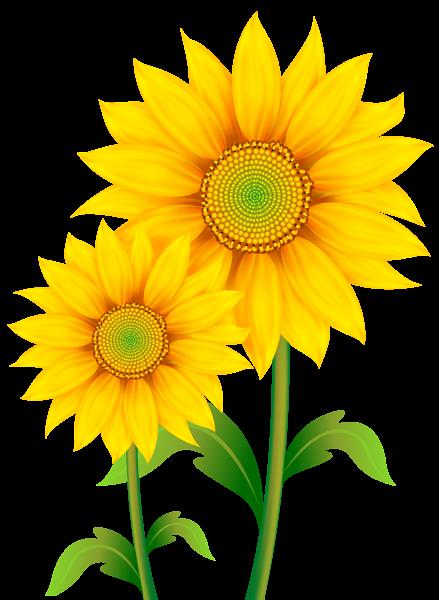 transparent sunflowers clipart png image Ősz h250rja