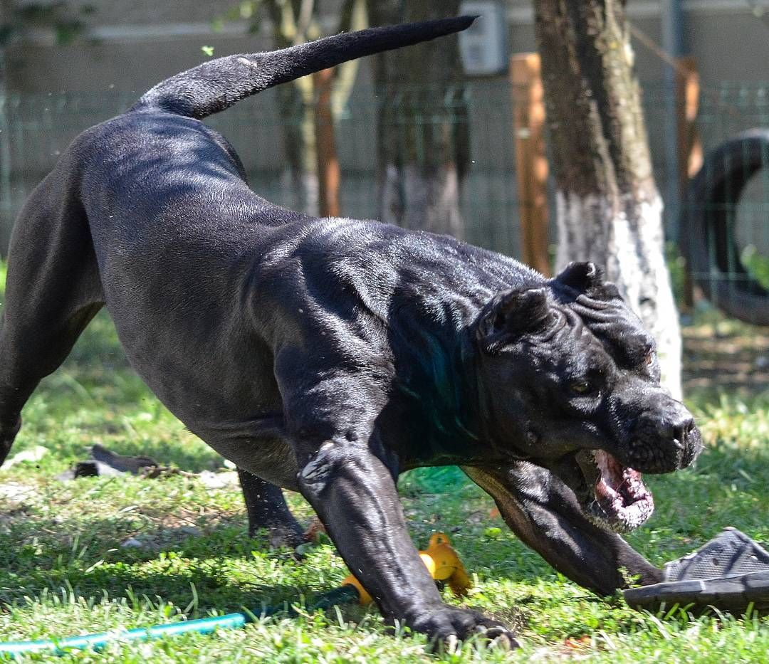 4 774 Mentions J Aime 45 Commentaires Presa Canario Carpatcan Kennel Carpatcan Sur Instagram Morning Flex Presac Scary Dogs Corso Dog Mastiff Breeds