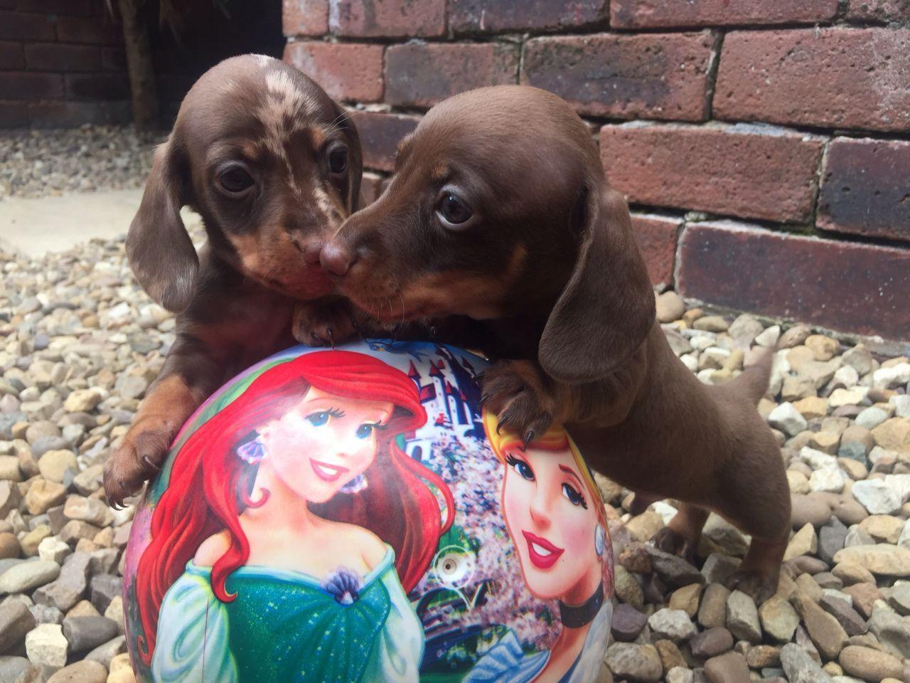 Kc Miniature Dachshunds Puppies Arrived Miniature Dachshunds