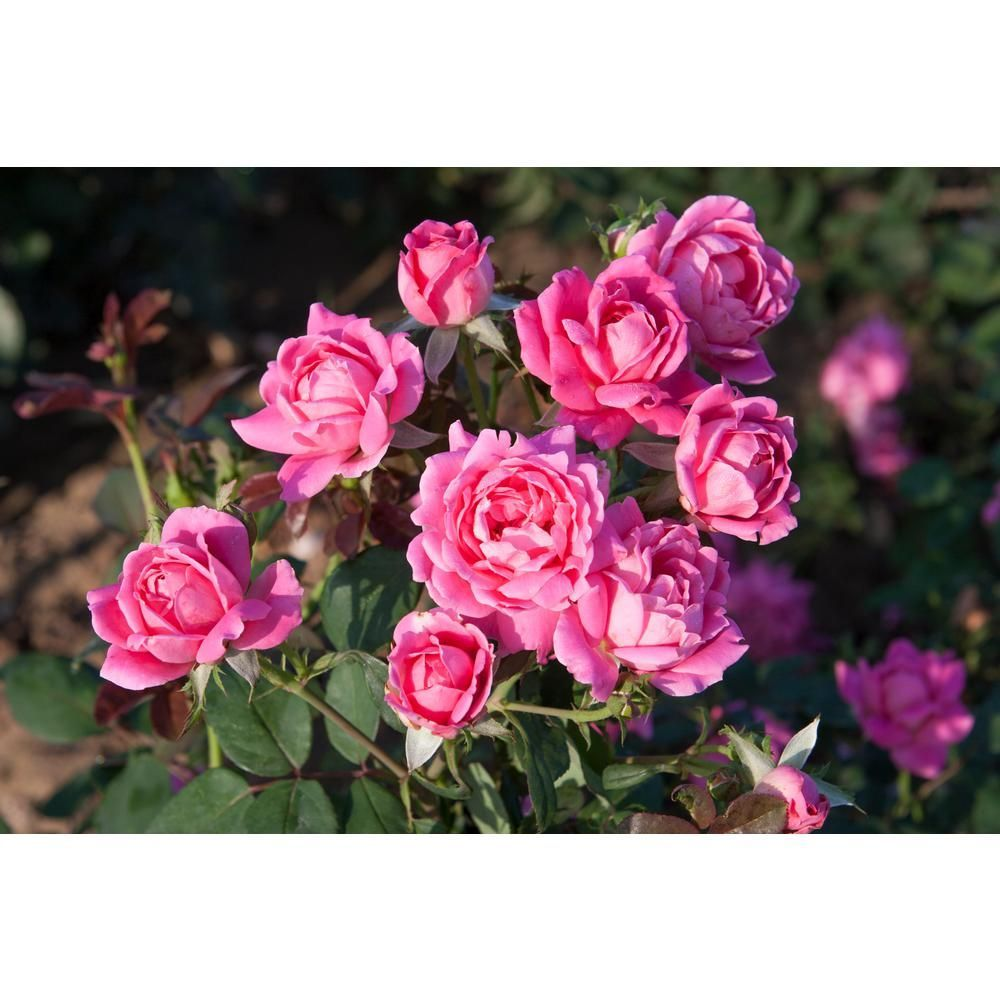 Knock Out 1 Gal Double Rose Plant With Pink Flowers 13155 The Home Depot Planting Roses Plants With Pink Flowers Knockout Roses