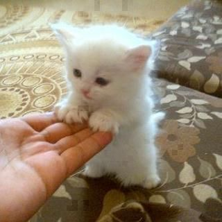 SWEET CAT SHAKE HANDS