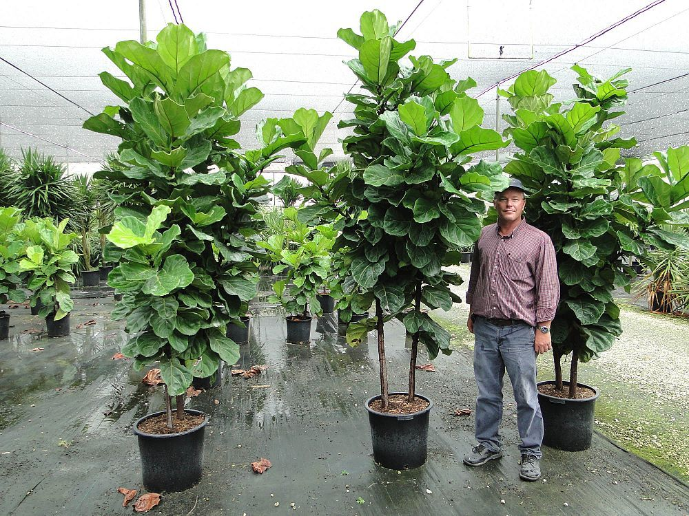 Ficus lyrata Fiddle Leaf Fig, Ficus pandurata #MajesticVision