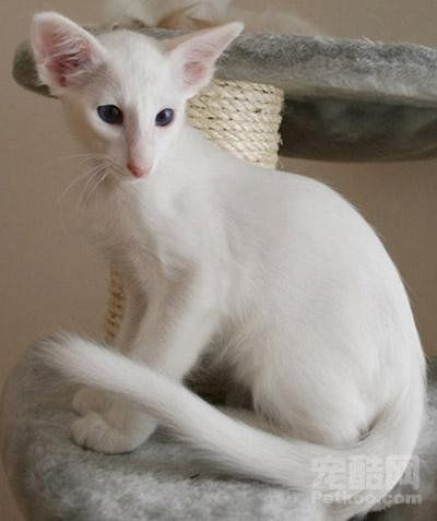 Oriental Longhair Cats Cute Cats And Kittens Oriental Shorthair Cats