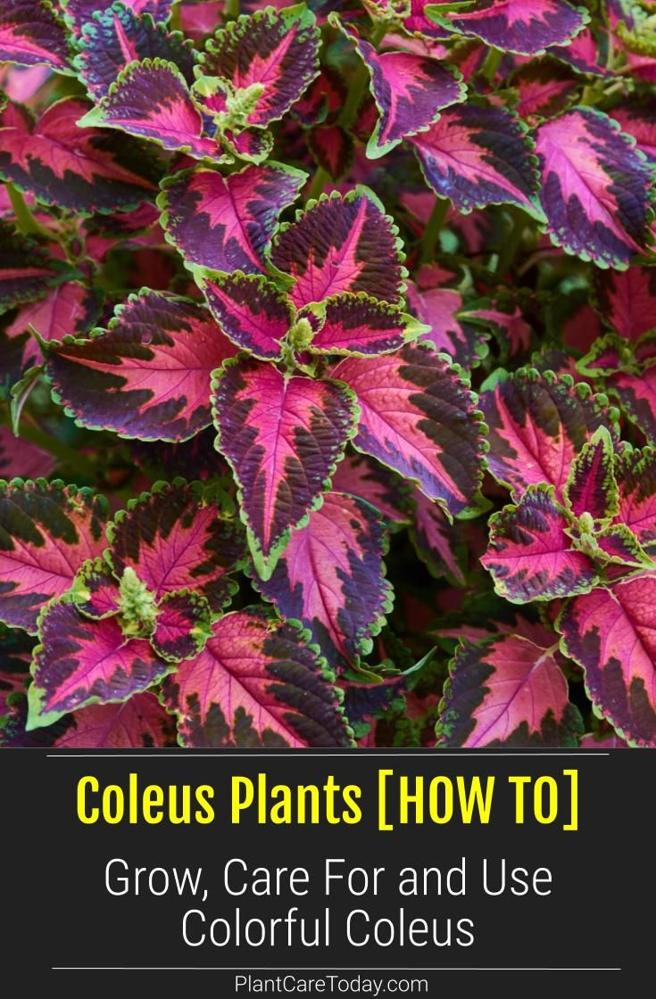 Photo of Coleus – Growing and Care Of Colorful Coleus Plants