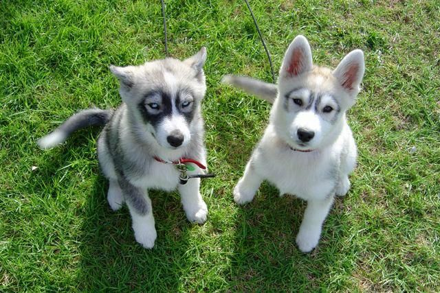 Husky Pups The One On The Left Has Such Cool Markings Cuddly
