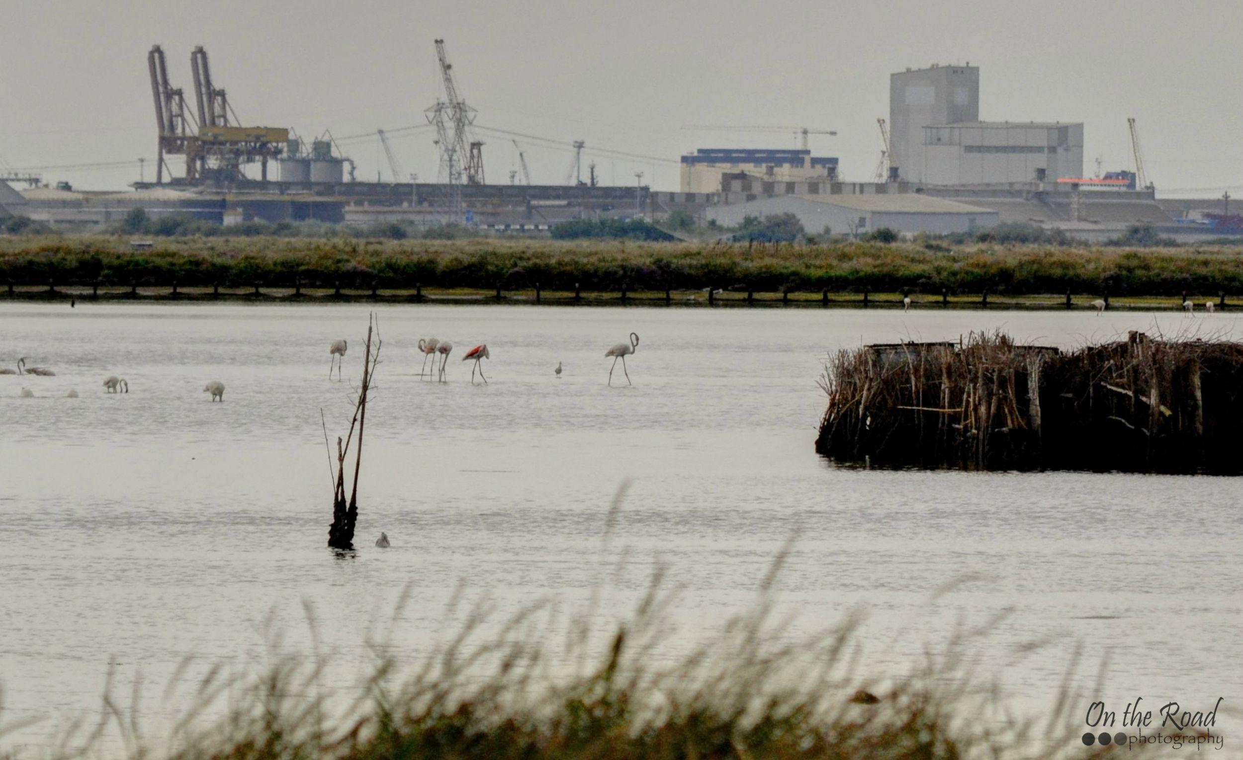 Flamingos in the wild at Marina di Ravenna