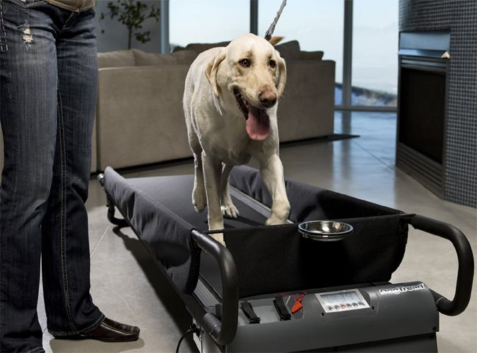 The Large Dogtread Is The Perfect Dog Treadmill For All Breeds Up