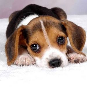 Natural Remedies For Dog Ear Mites Cute Beagles Beagle Puppy Cute Dogs