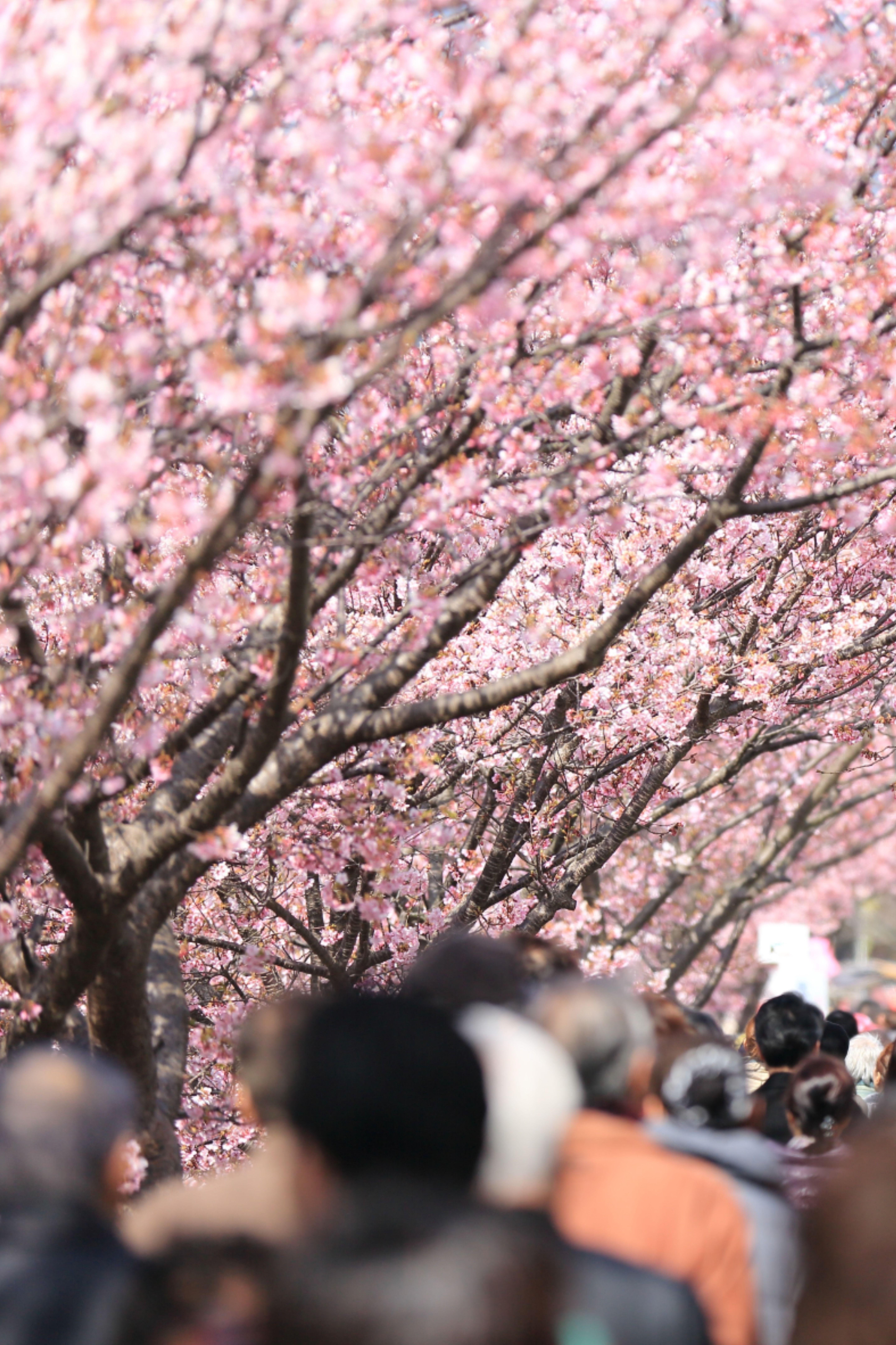 Hanami Cherry Blossom Festival In Japan Cherry Blossom Japan Japan Cherry Blossom Festival Japan Travel
