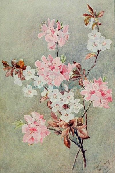 Vintage 1913 Botanical Illustration Drawing Chinese Cherry Blossoms Printable Restored Di Chinese Cherry Blossom Botanical Illustration Floral Illustrations