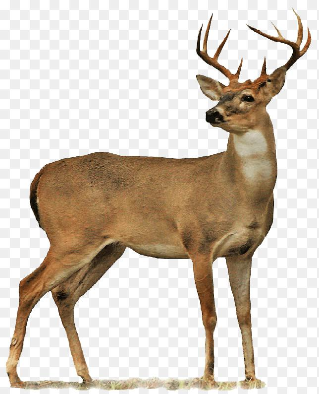 Deer Clipart Png Deer Free Png Transparent Background Images Free Download 644 794 Png Download Free Transparent Backgroun Whitetail Deer Deer Moose Deer