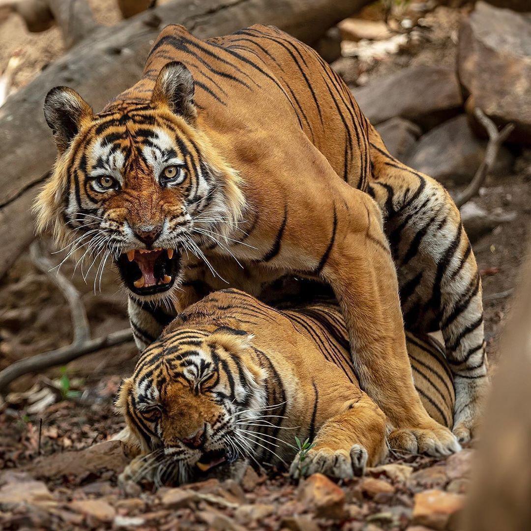 Tiger Mating . . . 📷 anantkaushik85 Merch Store in Bio