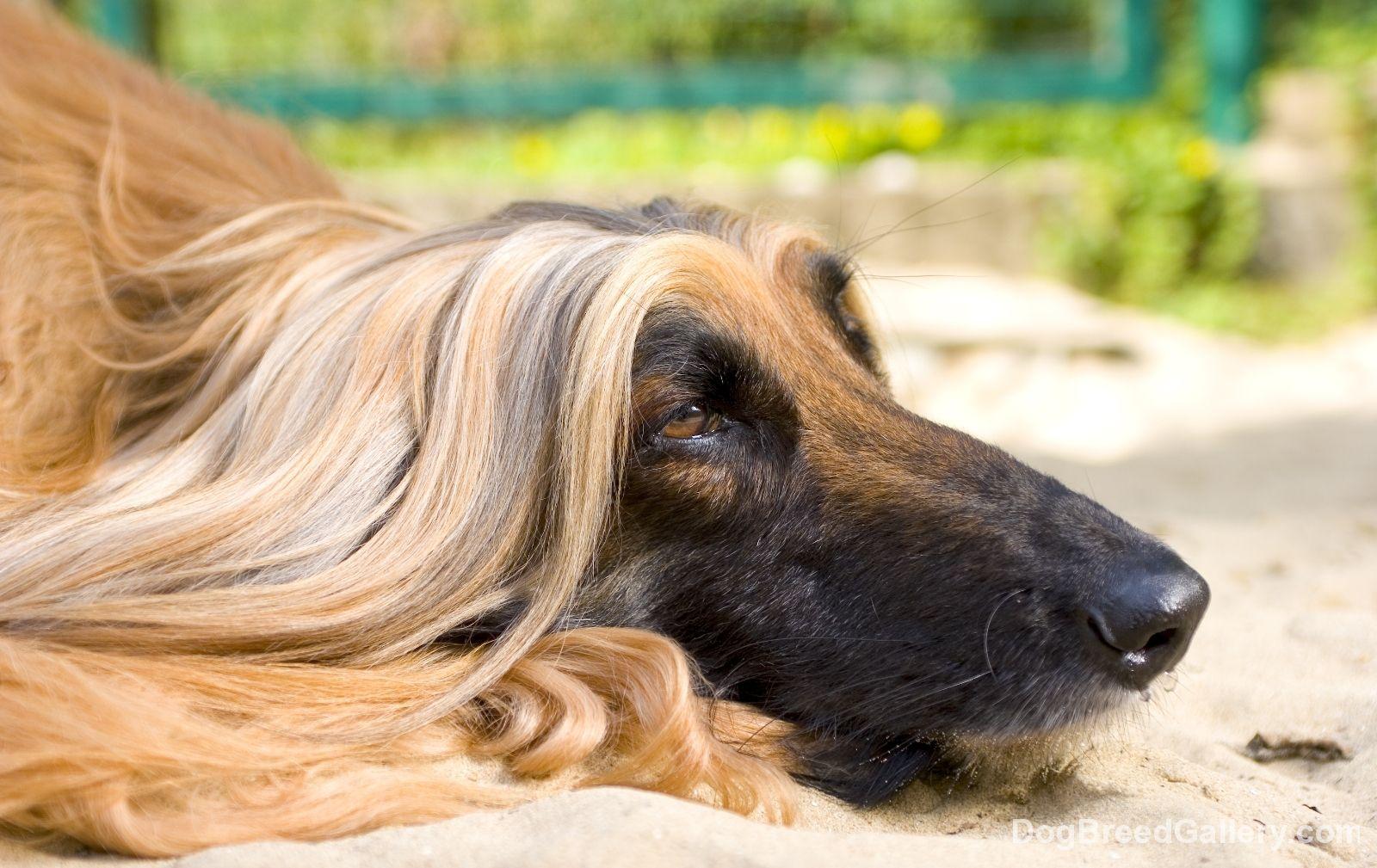 Afghan Hound Dog Breed Gallery Lebrel Afgano Galgo Afgano Perros De Caza