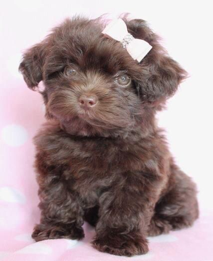 Yorkshire Terrier Pudel Yorkipu Susse Tiere Hundebaby Hunde