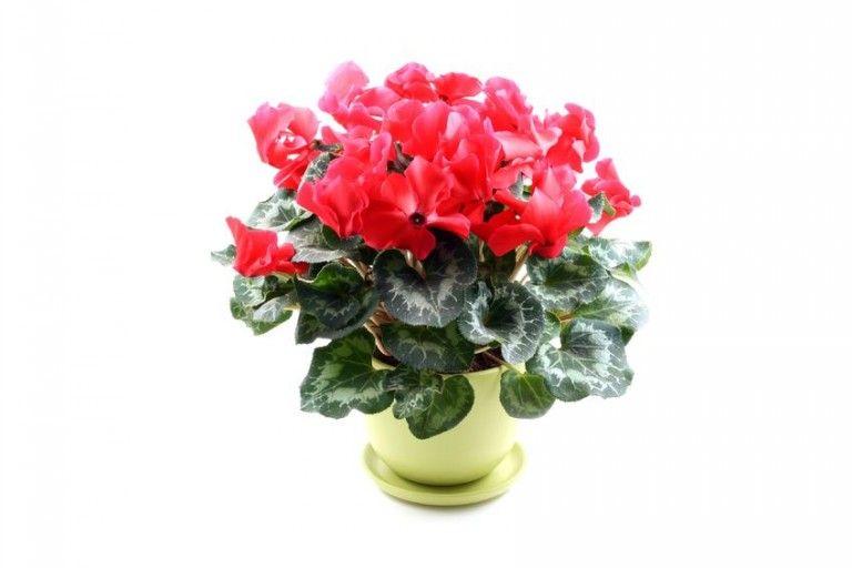 Înveselește-ți casa cu flori de ciclamă - http://decodellacasa.ro/inveseleste-ti-casa-cu-flori-de-ciclama/