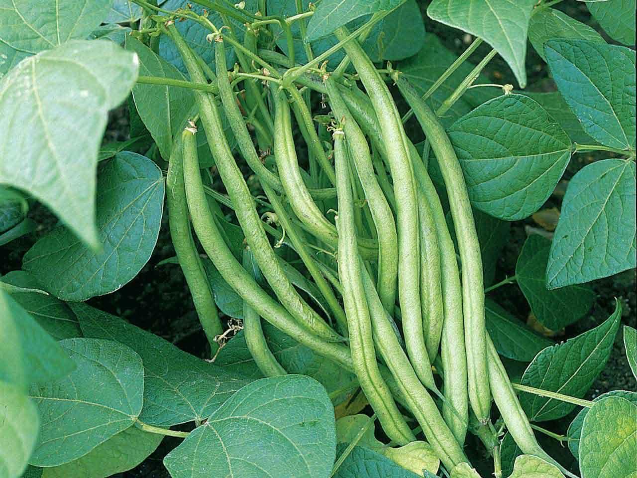 How To Grow Beans Bahcecilik Sebzeler